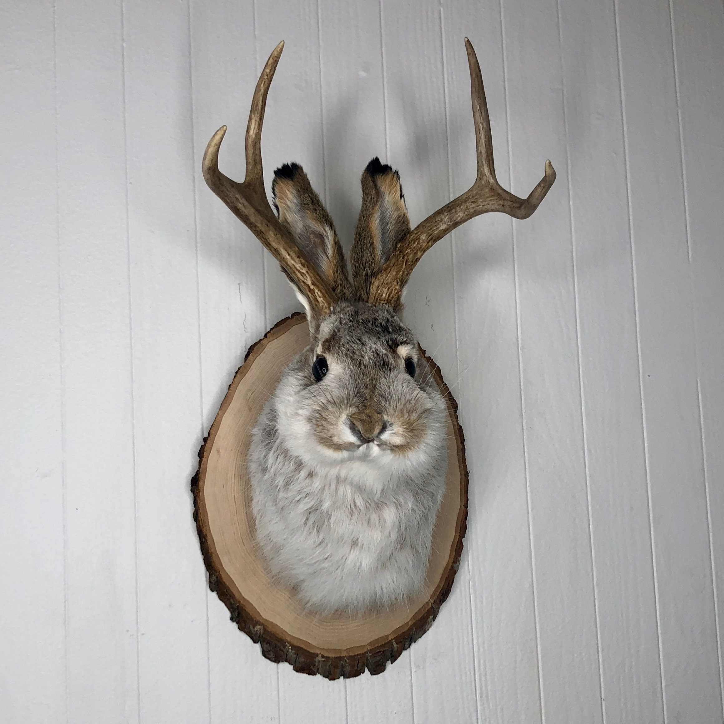 Details about  /Taxidermy Jackalope on German Carved Plaque Black Forest Rustic Cabin Oddities
