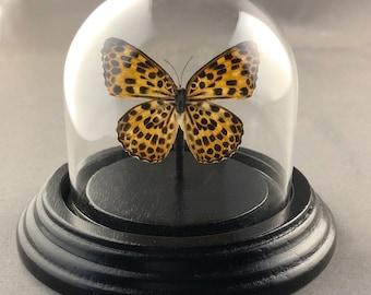 Small Butterfly Dome - Single Butterfly in Bell Jar