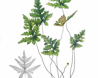 Botanical Fern Print by Australian artist Julie McEnerny A4 size Doryopteris concolor