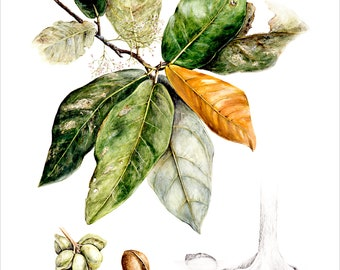 Mangrove Botanical A5 Print, Heritiera littoralis, original by Australian artist Julie McEnerny