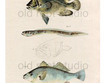 Hand Colored, Original Antique Print of Fish; Triple Tail, Wrymouth and Corvina, 1842. Original Antique Illustration Fresh Water /  Ocean