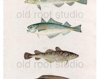 Hand Colored, Original Antique Print of Cod Fish, 1842. Original Antique Illustration Fresh Water, Salt Water, Lakes, Ocean