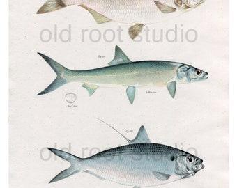 Hand Colored, Original Antique Print of Fish; Mooneye, Saury, Thread Herring, 1842. Original Antique Illustration Sea Lake Ocean