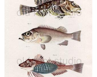 Hand Colored, Original Antique Print of Fish; Greenland Bullhead, Sebastes and Banded Gunard, 1842. Original Antique Illustration Lake Ocean