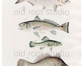 Hand Colored, Original Antique Print of Fish; Menhaden, Corvina, Perch & Sheepshead, 1842. Original Antique Illustration Fresh Water Ocean