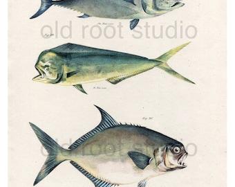 Hand Colored, Original Antique Print of Fish; Tunny, Dolphin Fish & Carolina Lichia, 1842. Original Antique Illustration Lake Ocean