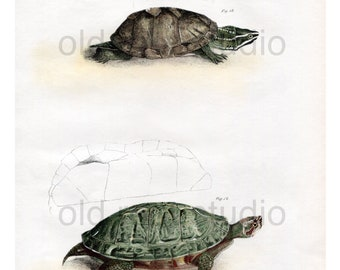 Hand Colored, Original Antique Print of a Musk Tortoise and Red-Bellied Turtles, 1842. Original Antique Illustration Terrapin