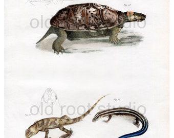 Hand Colored, Original Antique Print of Muhlenberg Tortoise and Blue Tailed Skink, 1842. Original Antique Illustration Turtles Lizards