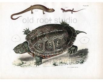Hand Colored, Original Antique Print of a Smooth Terrapin and Salamanders, 1842. Original Antique Illustration Turtles Lizards