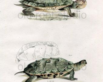 Turtles, Original Antique Print, Hand Painted, 1842; Geographic Tortoise, Wood Turtle, Original Antique Illustration Hand Painted