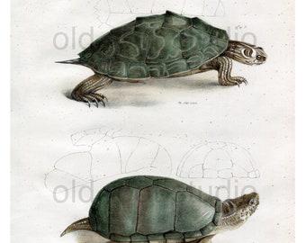 Hand Colored, Original Antique Print of the Pseudo Geographic Tortoise and Mud Turtle, 1842. Original Antique Illustration Salt Water Ocean