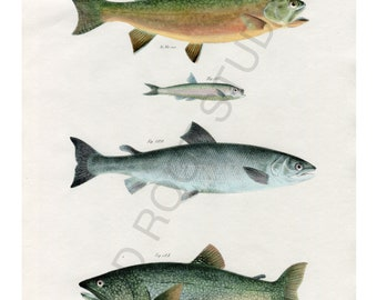 Hand Colored, Original Antique Print of Fish; Brook and Lake Trout, Salmon, Argentina Fish, 1842. Original Antique Illustration Hand Painted