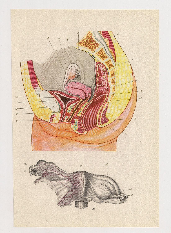 Pene de vagina médica diagramas ilustraciones anatomía | Etsy