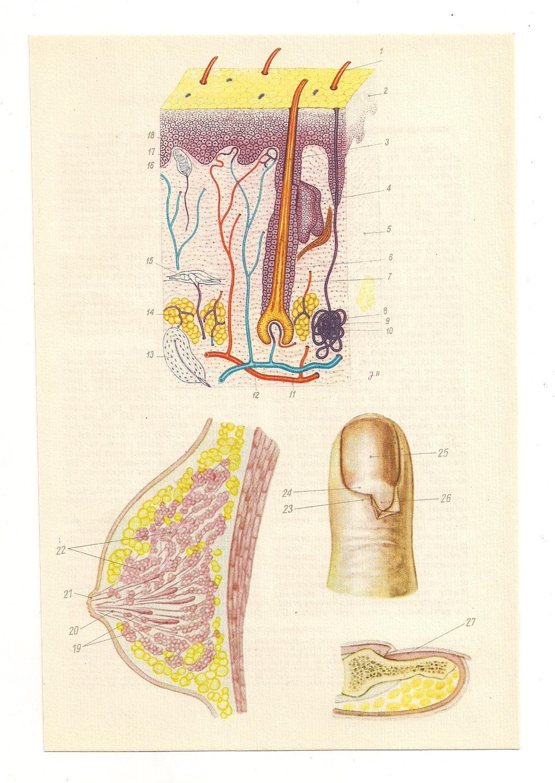 Médicos diagramas 2 Vintage impresiones anatómicas tetas dedo | Etsy