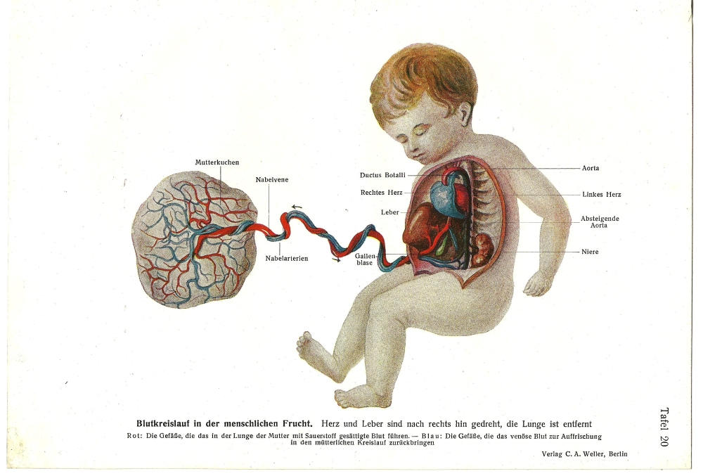 Lithograph print german 1928 womb pregnancy fetus anatomy