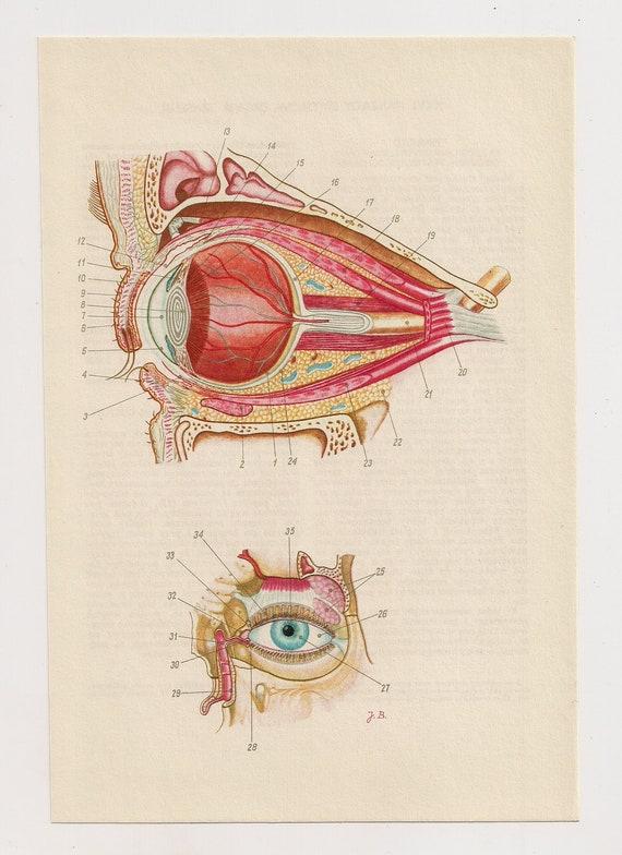 2 anatomische Vintage-Prints Auge Knochen Schädel medizinische | Etsy