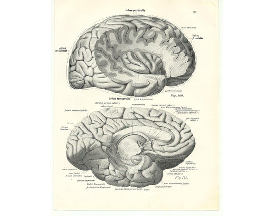 Brain anatomy poster Graduation gift Vintage old page print   Etsy