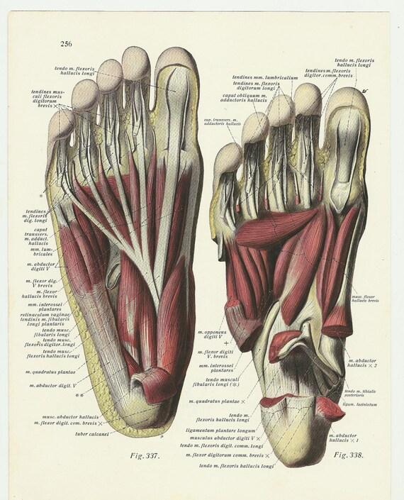 Medical Print Anatomical Illustration 1933 Feet Leg Etsy