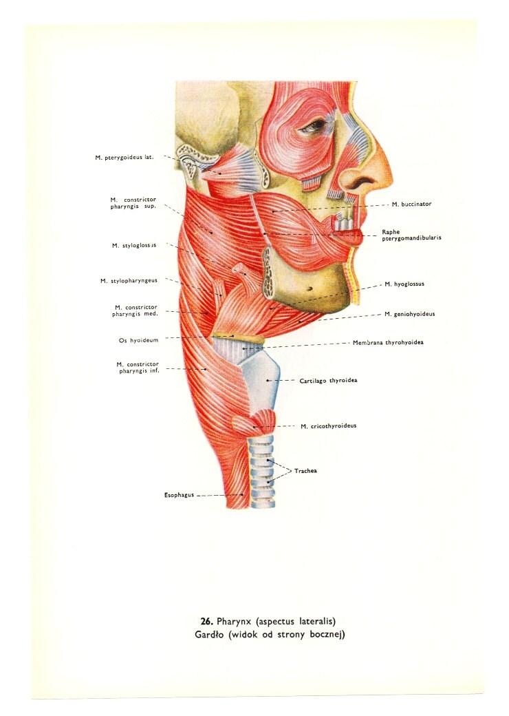 Medizinische Anatomie Kopf Ephemera Arzt Blut menschlichen   Etsy