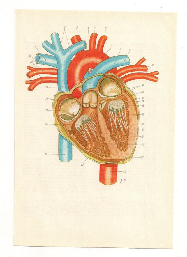 Anatomisches Herz Druck Anatomie medizinische Druck | Etsy