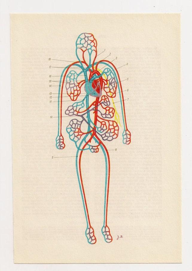 Menschliche Anatomie Poster medizinische Kunst anatomical | Etsy