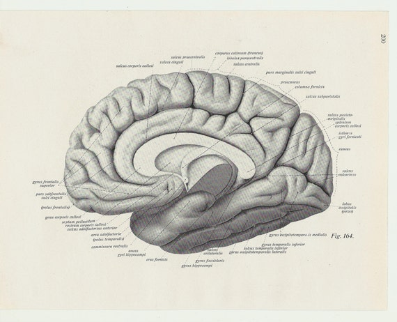Brain Print Lithograph Human Body Medical Anatomic Anatomical Etsy