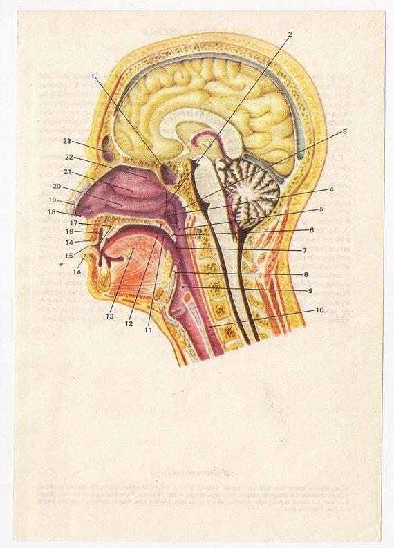 2 Vintage Anatomical Prints Medical Diagrams Skull Skeleton Etsy