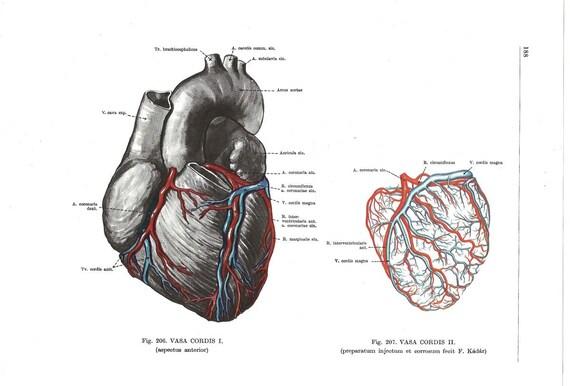 Anatomisches Herz Anatomie medizinische Zeichnung menschlichen | Etsy