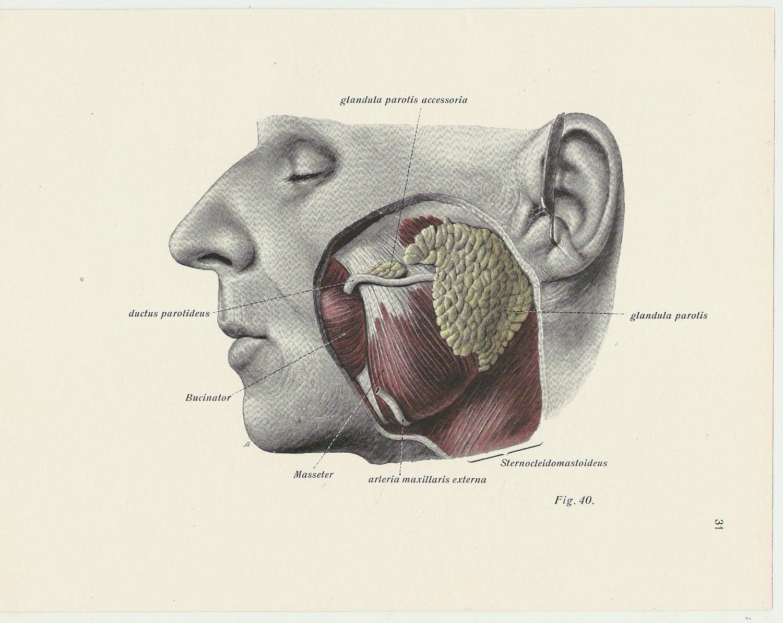 Medizinische Druck anatomische Darstellung der 1930er Jahre | Etsy