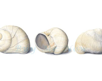 Sea Snail Shell print