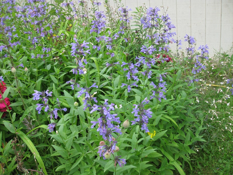 7 Nepeta Joanna Reed Catnip Catmint Perennial Herb Plants with Medicinal herbal uses of tea oils tinctures free Ship From my Organic farm