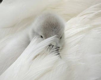 Peek'a Boo - Cygnet Photograph - Baby Swan - Day Old Cygnet - Swan and Cygnet - Baby Animal - Cute - Tenderness - Loverly - Fuzzy Cygnet