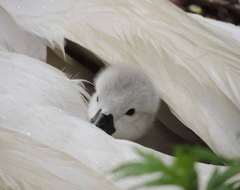 Peek'a Boo - Cygnet Photograph - Baby Swan - Day old Cygnet - Under Wing - In Rain - Cute - Cygnet with Swan - Nature - Swan Photograph