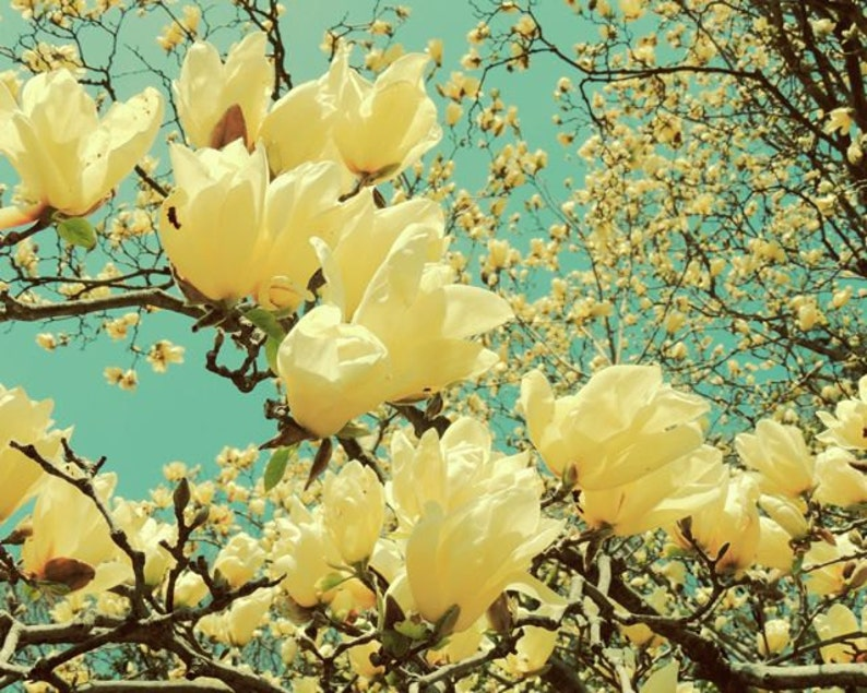 Yellow Magnolia Nature Art Flower Tree Art Flower And Etsy