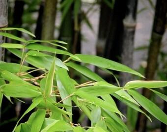 Leafy Bamboo - Nature Green Bamboo Photograph  - Nature Art - Wall Decor - Landscape - Garden - Botanic Art - Nature Photograph