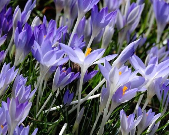 Flower Photograph Early Spring Flower Art Lavender Purple Etsy