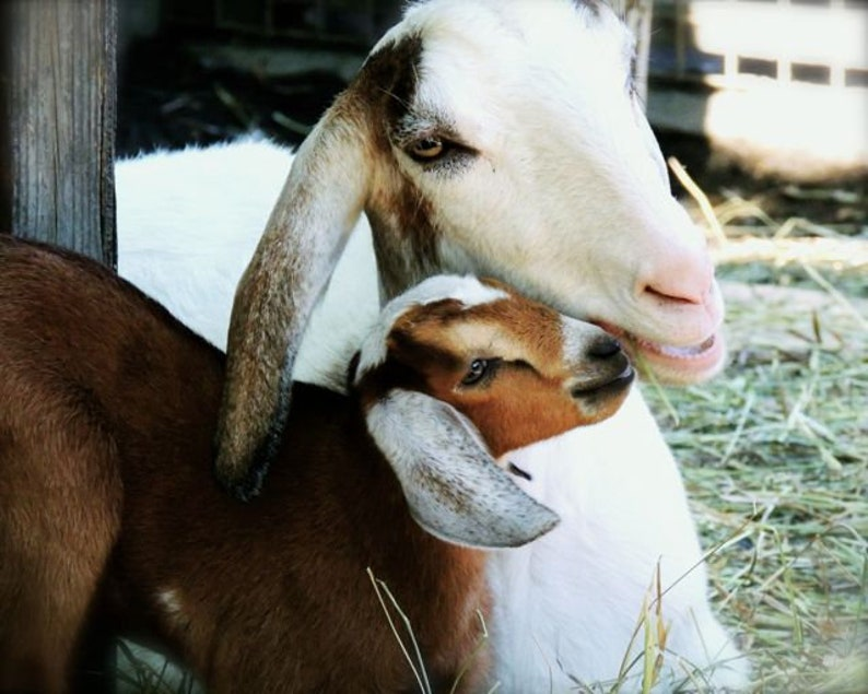 Awesome Mama Goat Kid Love Kids Room Decor Nursery Wall Art So Lovely So Sweet So Tender Animal Photograph Goat Photography Home Interior And Landscaping Spoatsignezvosmurscom