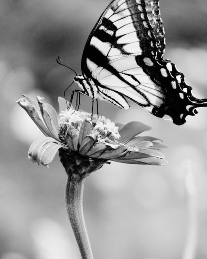 575073977b798 Butterfly Photograph Flower Tiger Swallowtail Butterfly | Etsy