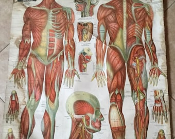 Antique Lithographed Linen 1910 Anatomical Chart, The Muscular System