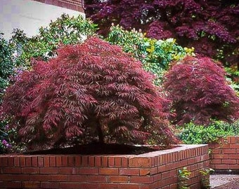Red Japanese Maple Etsy