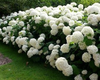 Annabelle Smooth Hydrangea arborescens - Live Plant - Quart Pot