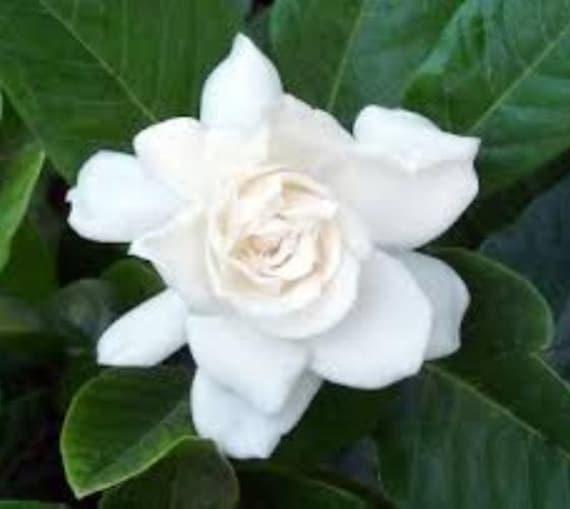 August Beauty Gardenia Cape Jasmine Live Plant Trade | Etsy