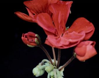 Red Geranium Print - A4