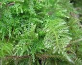 Moss Feather 1-quart bag Live Moss, Fresh moss Beautiful Green Fresh Feather Moss, Terrarium Moss, sheet moss, live sheet moss