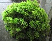 Terrarium Moss, 1 Square Foot, Live Moss, Palm Moss Great for Terrariums