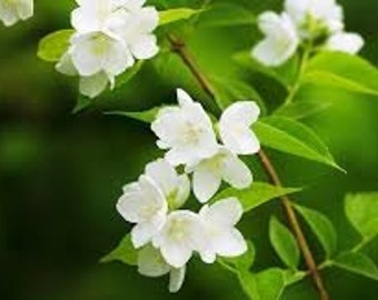 Jasmine (Jasmine Grandiflora)  Available In Several Sizes Use For Aroma Therapy Bath Body Soap Making Cleaning