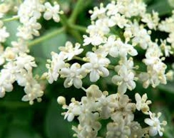 Elder Flower Premium Fragrance Oil Available In Several Sizes