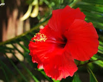 Polynesian Hibiscus Premium Fragrance Oil  Available In Several Sizes