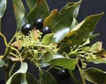 Camphor (Cinnamomum Camphora) Pure Essential Oil