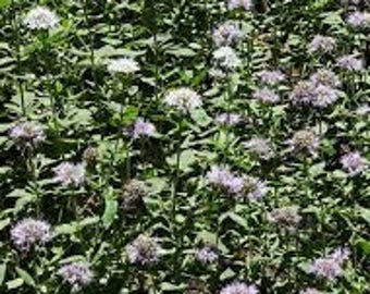 Clove Pennyroyal Essential Oil (Eugenia Caryophyllata) Available In Several Sizes Use For Aroma Therapy Bath Body Soap Making Cleaning